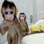 Naukowcy sklonowali małpki