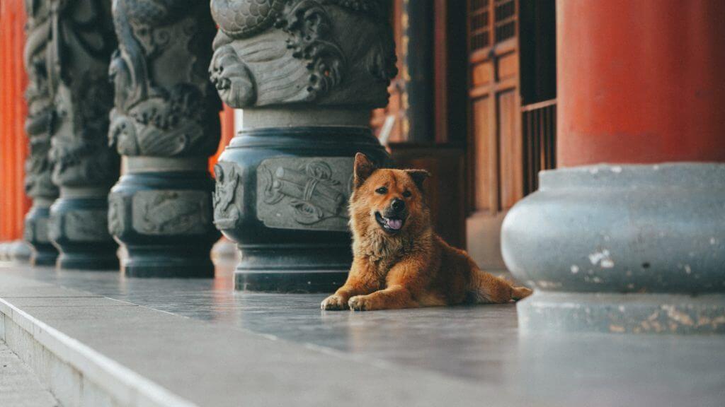 chińska rasa psa